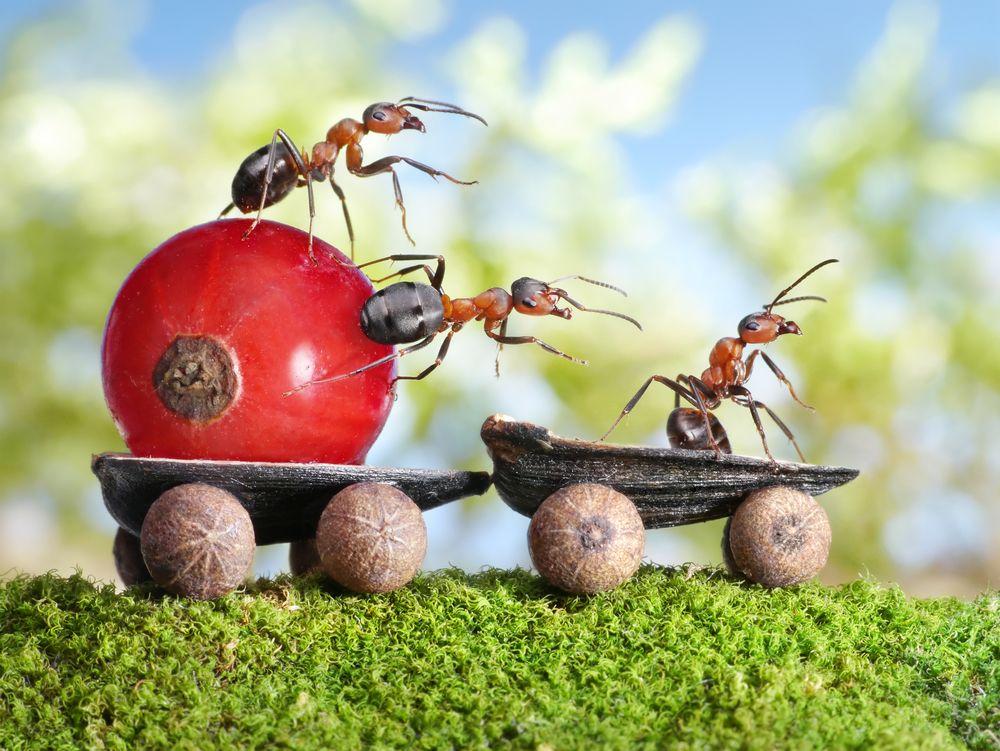 formiche-pomodoro
