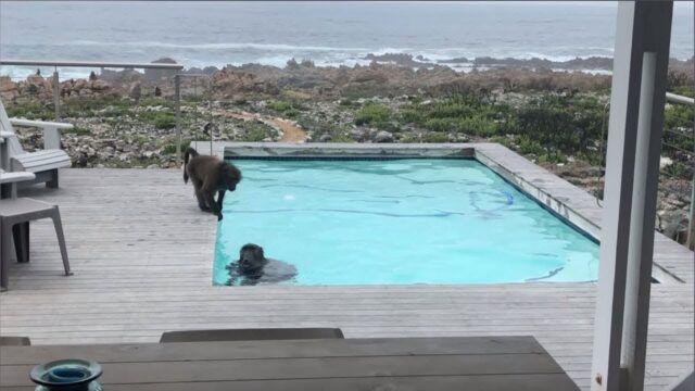 Uomo-scopre-i-due-babbuini-nella-sua-piscina