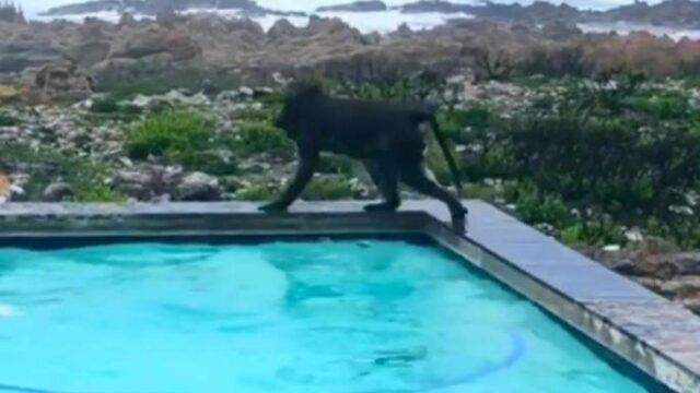 Uomo-scopre-i-due-babbuini-nella-sua-piscina 1