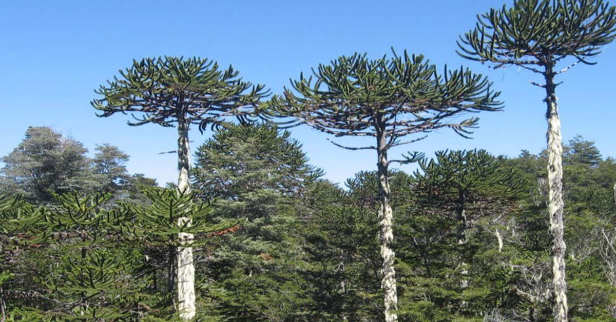 In Cile esiste un albero bellissimo: l'Araucaria araucana