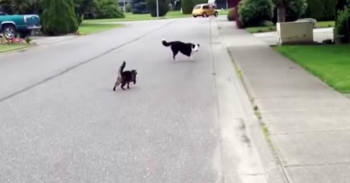 """Gatto """"supereroe"""" difende il suo amico peloso da un bullo"""