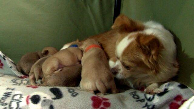 La-piccola-Rose-adotta-i-5-cuccioli-rimasti-orfani 2