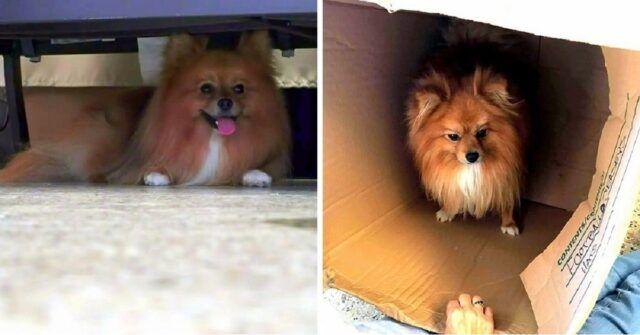 Rusty-il-cagnolino-abbandonato-davanti-al-supermercato-con-una-scatola-ed-un-collare-shock