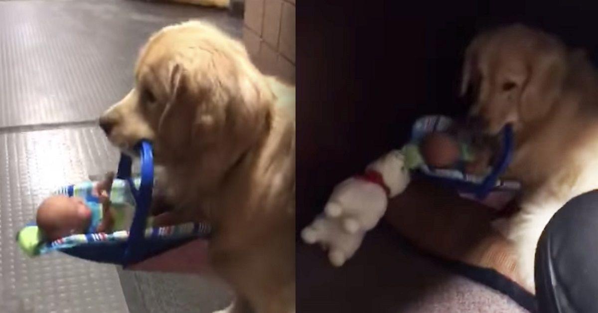 Ben, il cane da pet therapy che rubava i giocattoli dei bambini, colto in flagrante