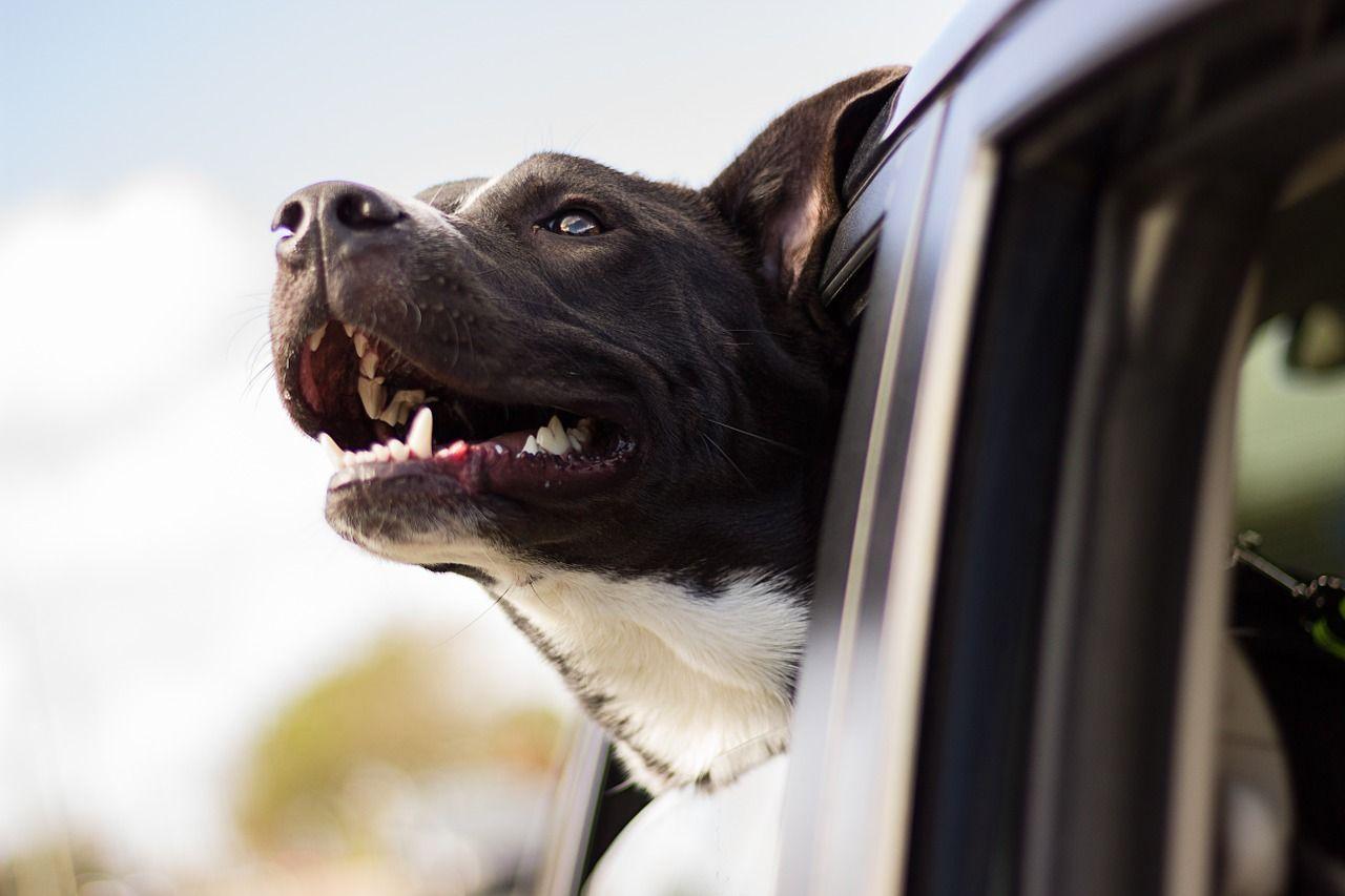 in auto con gli animali domestici