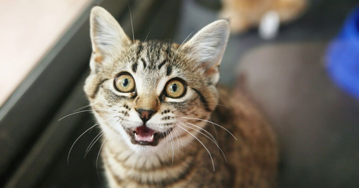 gatto-miagola