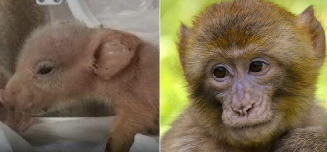 I primi ibridi di maiali-scimmia nati in Cina e morti pochi giorni dopo
