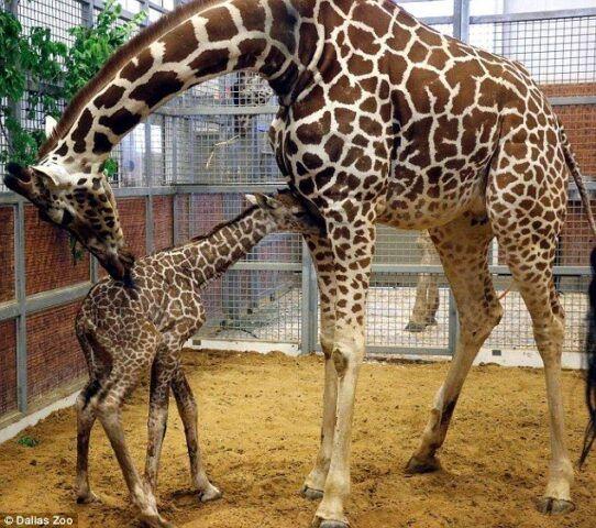 Kenzie la giraffa