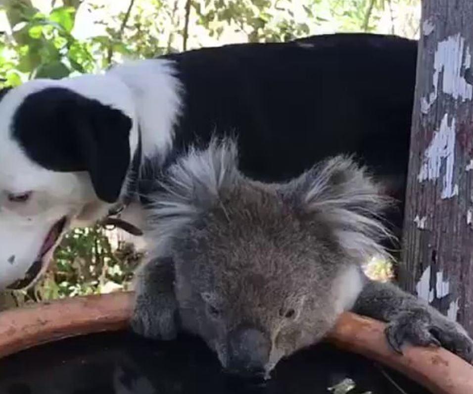 cane-koala