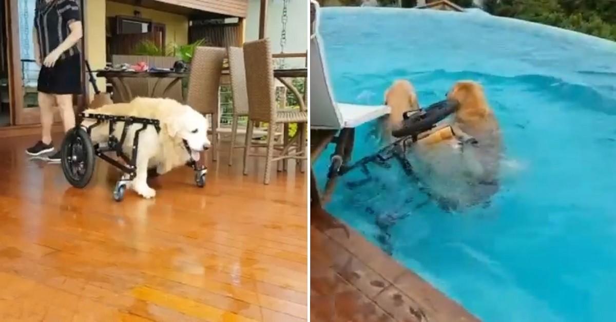 Lion, il golden retriever che si tuffa in piscina con il suo carrellino