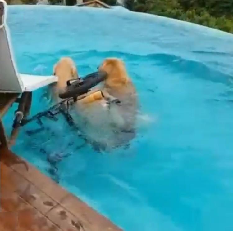 golden-retriever-piscina