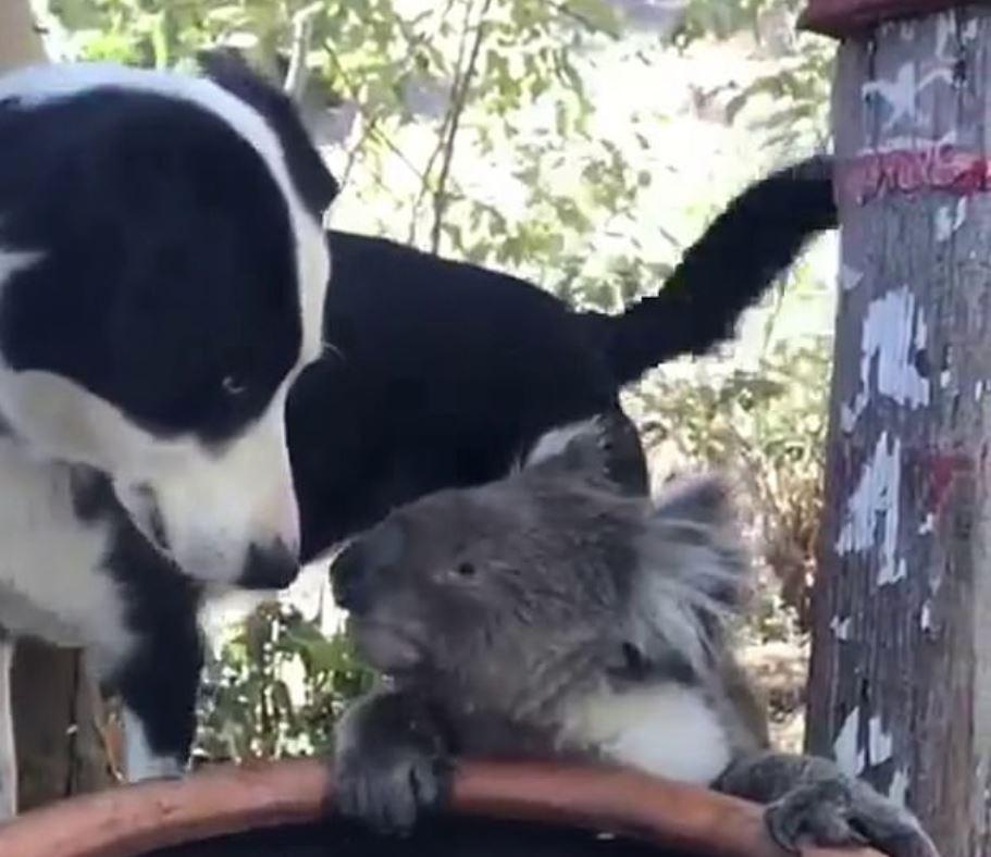 koala-cane