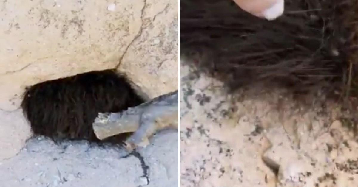 Il nido di opilionidi