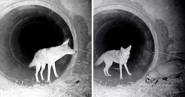 L'amicizia nata tra il tasso ed il coyote