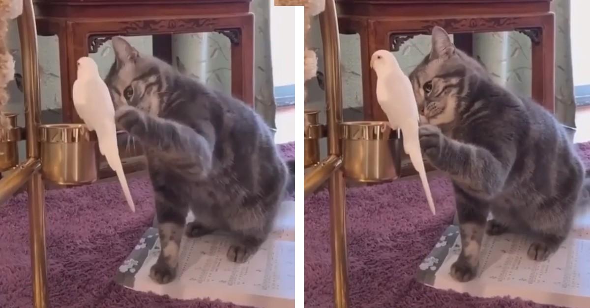Il gattino che gioca con un pappagallo (Video)