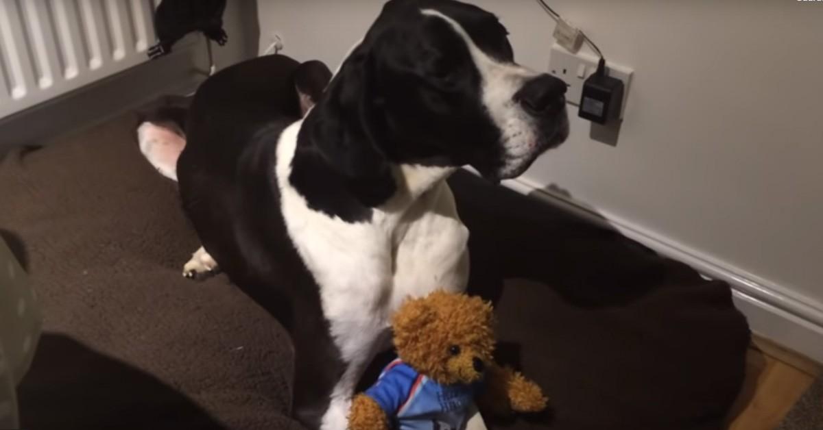 Maco, il cane Alano che proprio non vuole lasciare il suo pe