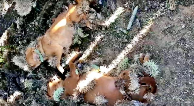 i-due-cagnolini-ricoperti-di-aghi-di-cactus
