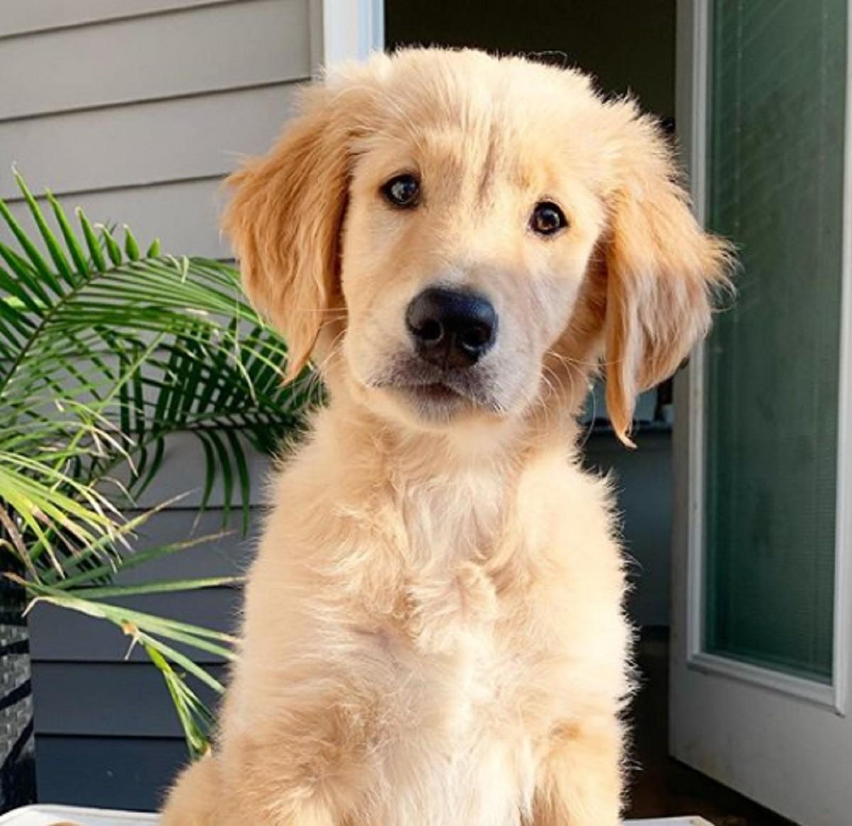 cucciolo-golden-retriever