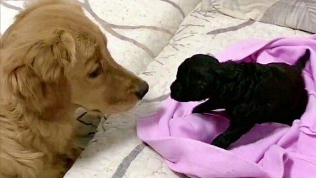 Il primo incontro di Pork e Teddy Sugar