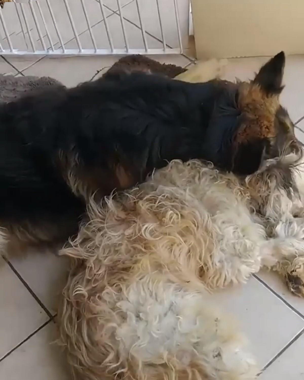 pastore-tedesco-cane-bianco