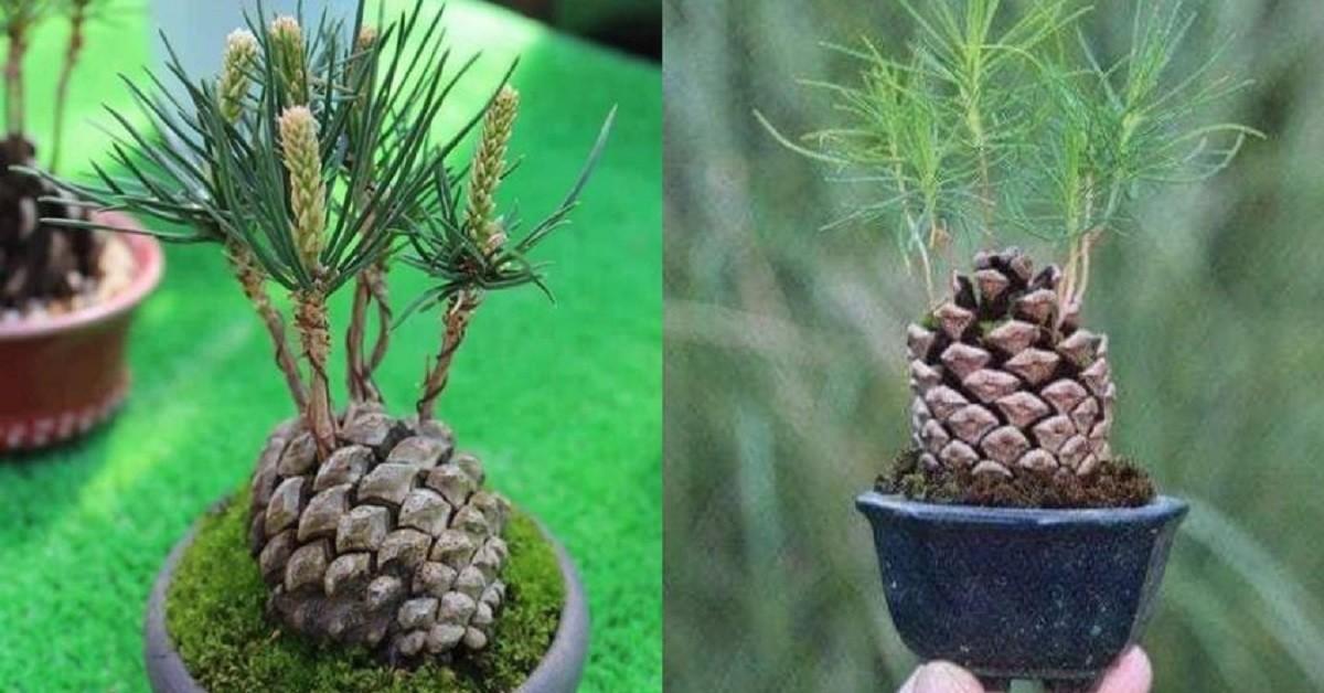 Coltiva un pino in un vaso piccolo in 5 semplici passaggi