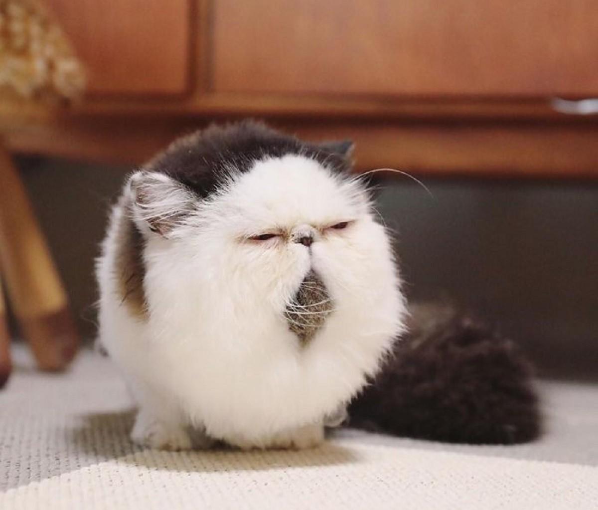 zuu-gattino