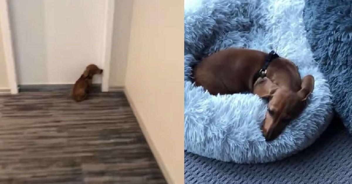 King-il-cane-che-ama-la-sua-camera-e-che-passa-li-dentro-molto-tempo