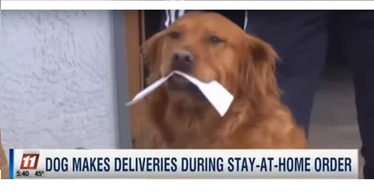 Coronavirus: Sunny, il cane che consegna la spesa a chi non