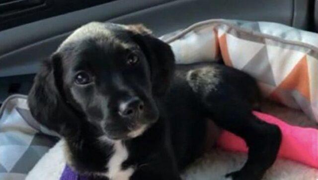 cane rimasto ferito in un incidente è stato adottato 2