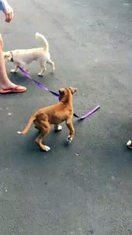 cane viene portato a spasso da un altro cagnolino 2