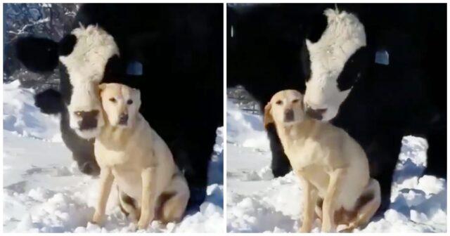 il-legame-instaurato-dalla-mucca-ed-il-labrador