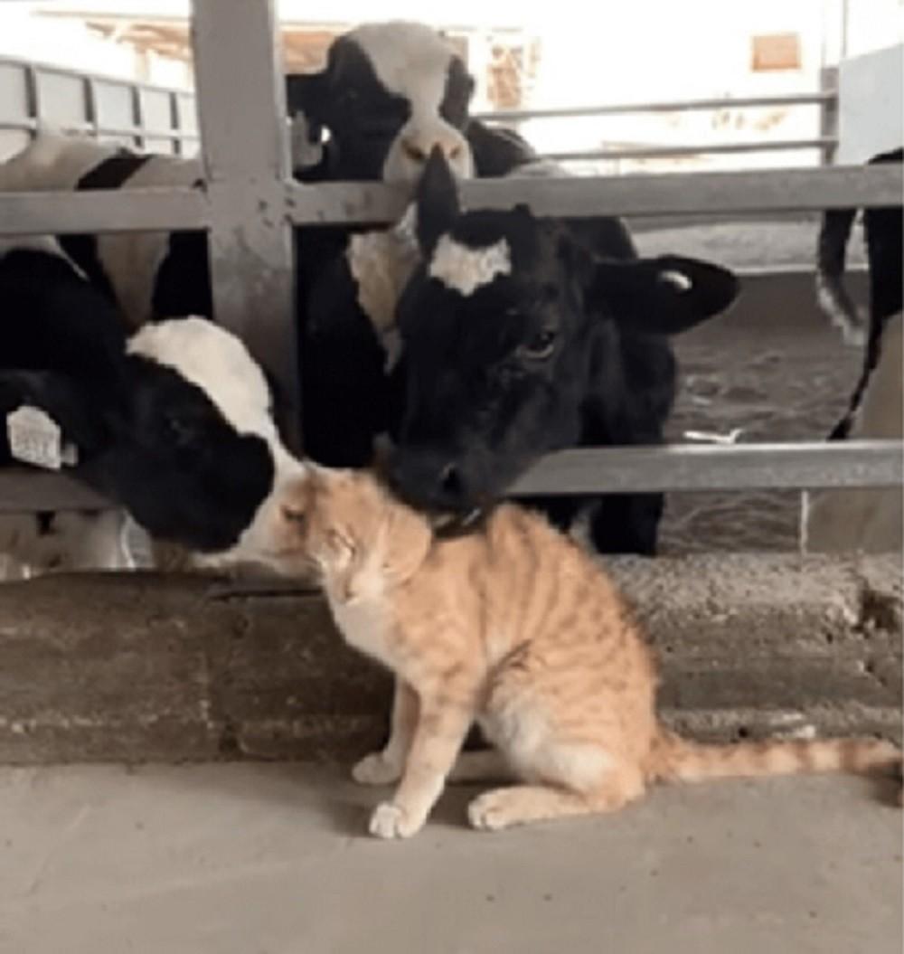 gatto e mucche