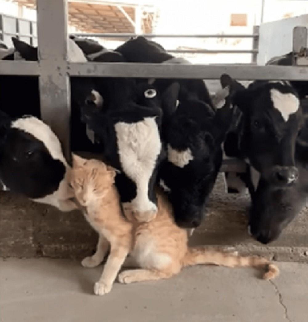 mucche e gatto