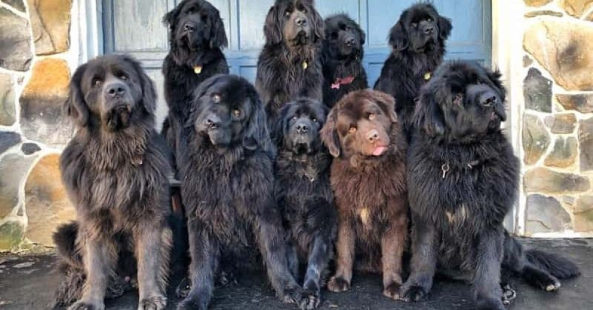 cuccioli di Terranova