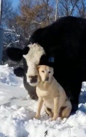 il-legame-instaurato-dalla-mucca-ed-il-labrador 2