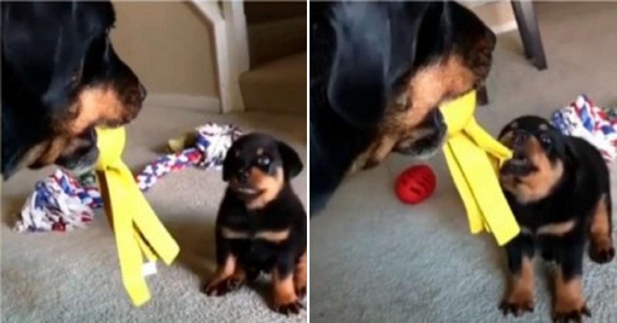 Cucciolo cerca di intimidire il Rottweiler per ottenere un g
