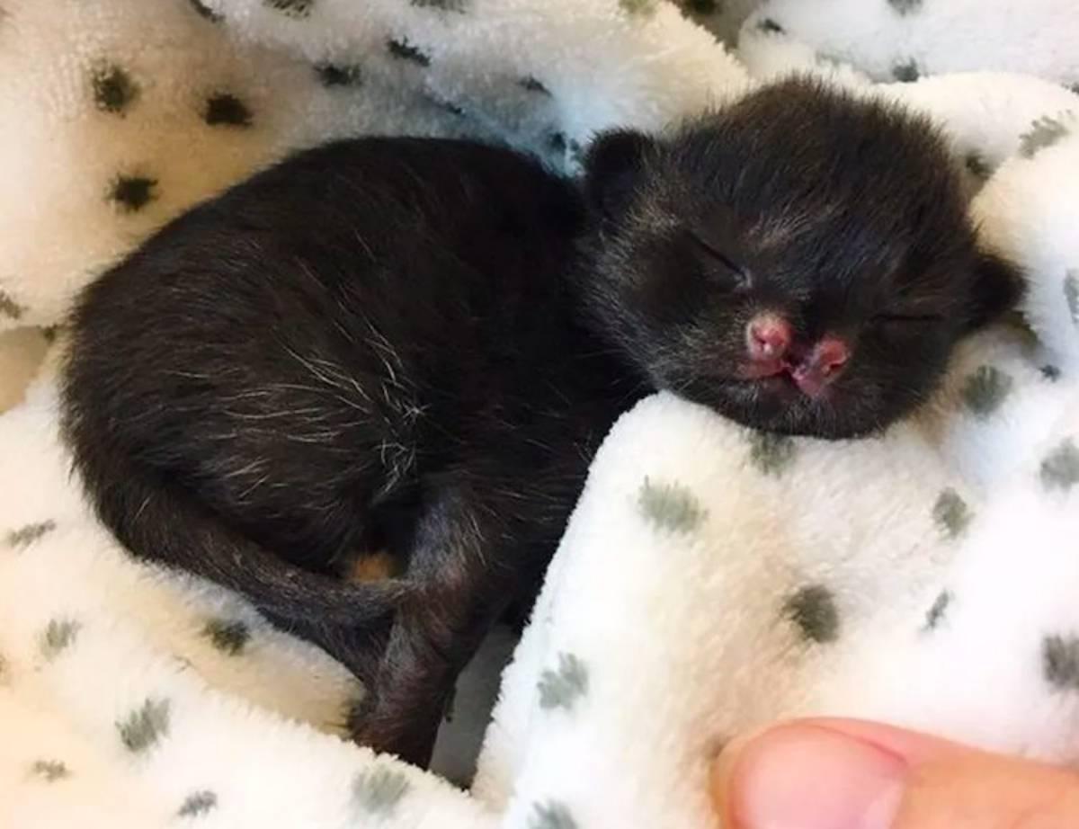 gattino nero Aela