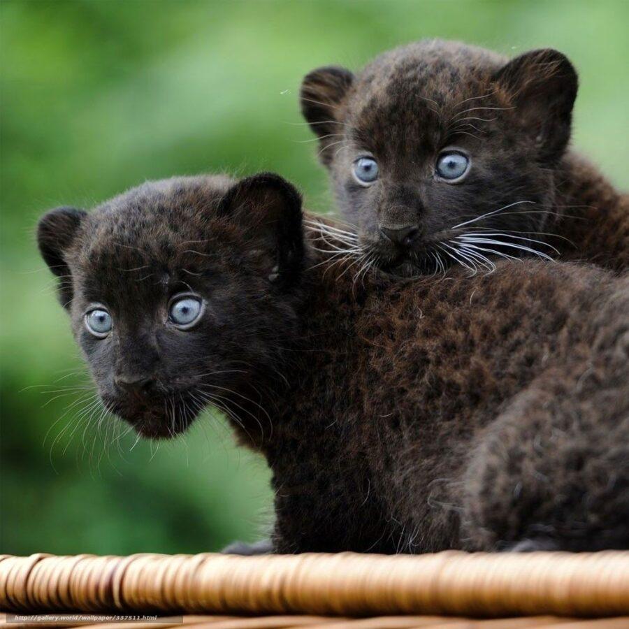 Cuccioli di giaguaro nero