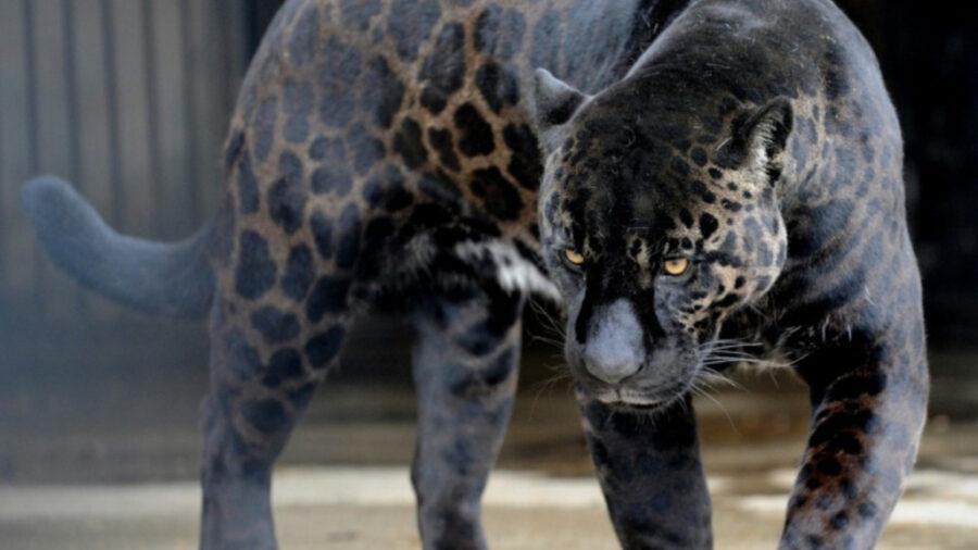 Giaguaro nero adulto