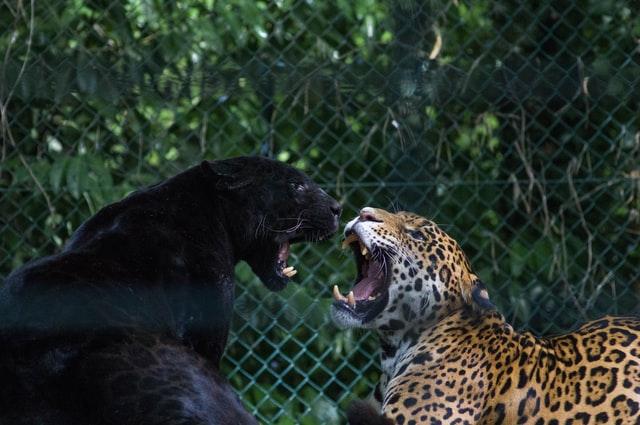 Giaguari in gabbia