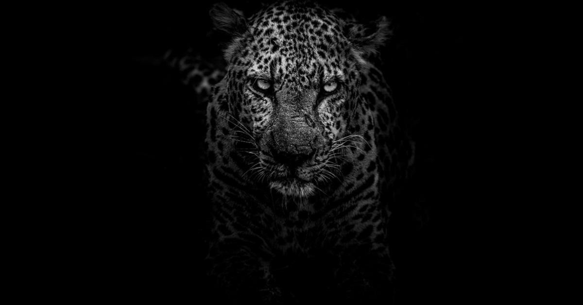 Il giaguaro adottato