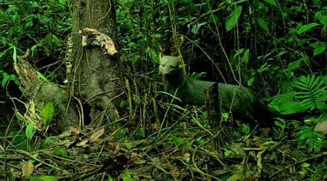 L'Amazzonia e il cane dalle orecchie corte