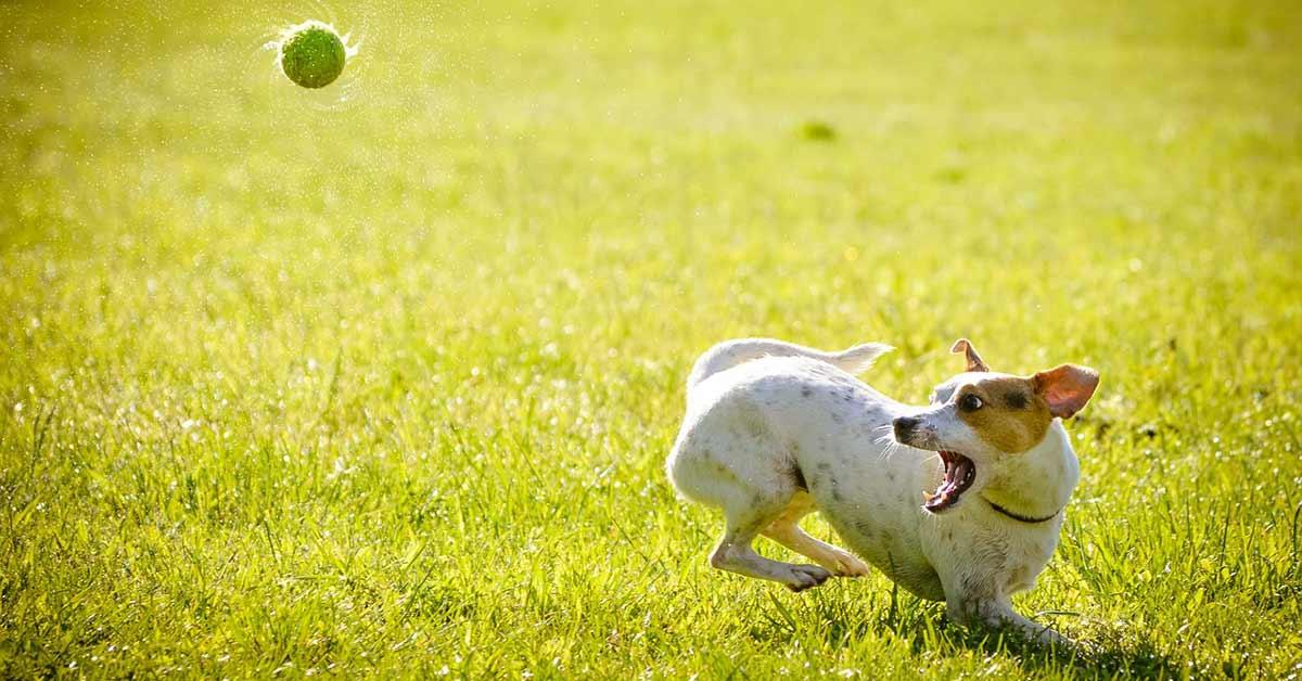 Cane insegue la palla