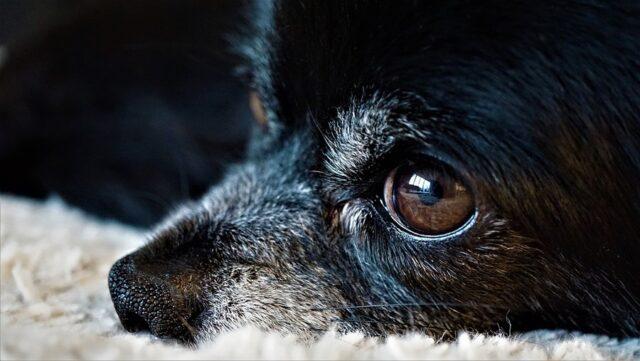 Venegono cane investito