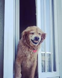 Golden Retriever sorriso