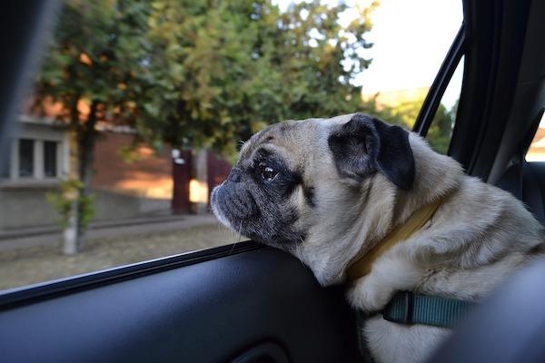 Cane con la testa fuori dal finestrino