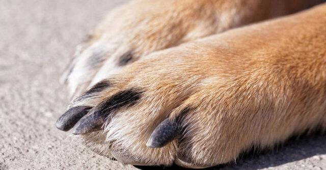 Priolo Gargallo, cane trascinato