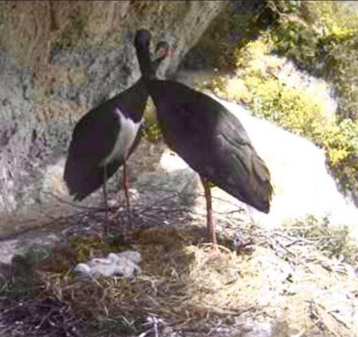 cicogna nera nidificare Basilicata