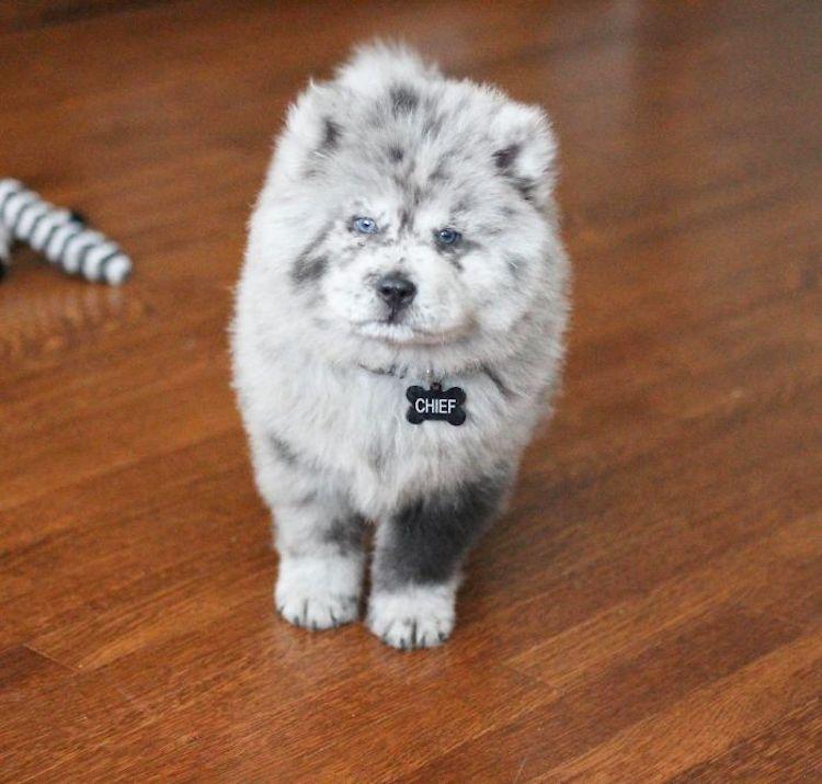 Chief cane da pet therapy