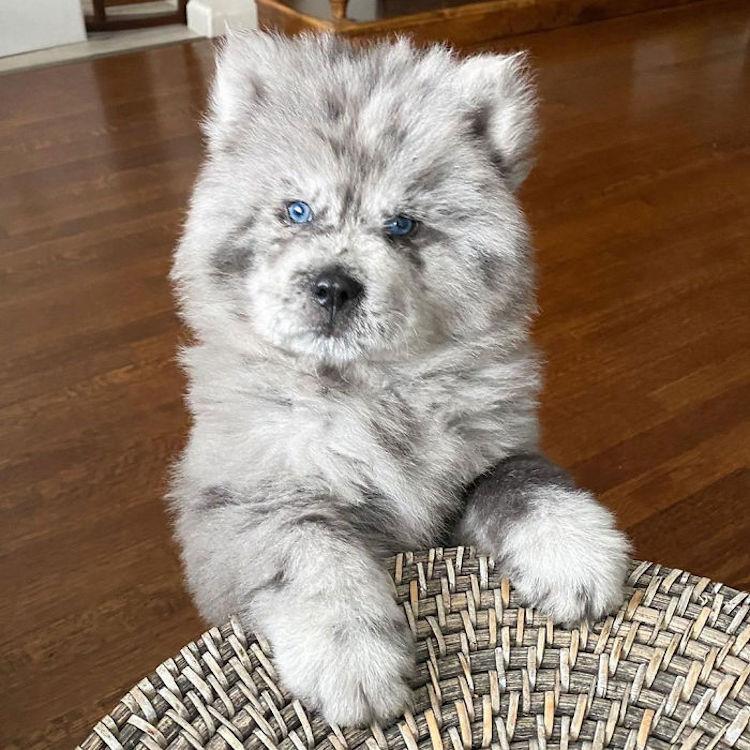 Il cane con il manto stile Óreo Mcflurry